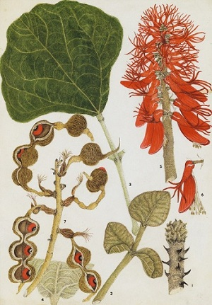 Erythrina abyssinica by Olive Coates Palgrave